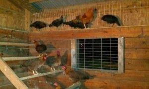 Фото кур в курятнике с вентиляцией