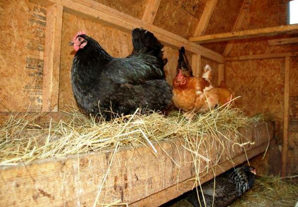 Обустройство гнезда для не несушек