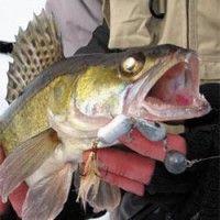 Zubáč ryby