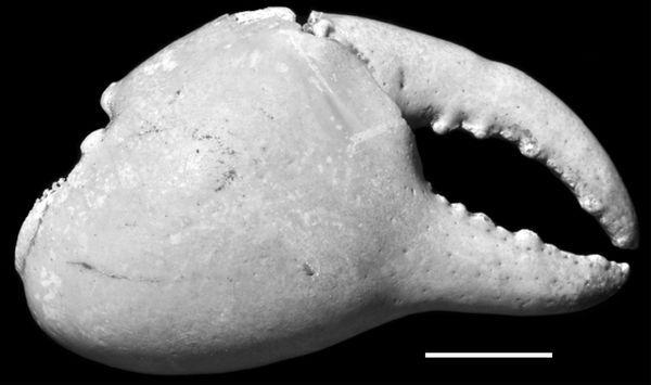 Pincer izumrli Hawaiian zemljište rakova (foto autori studije).