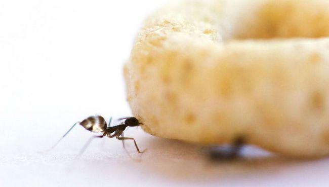Сумасшедшие муравьи сотрудничают для транспортировки тяжелых грузов