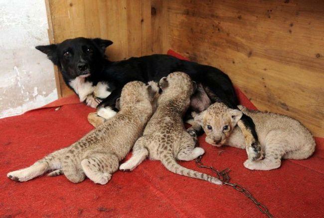 Tři lvíče jedí mléko jeho adoptivní matka v safari parku v Che-fej, východní čínské provincii An-chuej. Pes přijat novorozené predátory po vlastní matka opuštěné děti.
