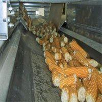 Sušenje kukuruz na klipu