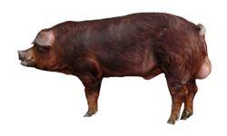 Duroc svinje | Duroc rase svinja