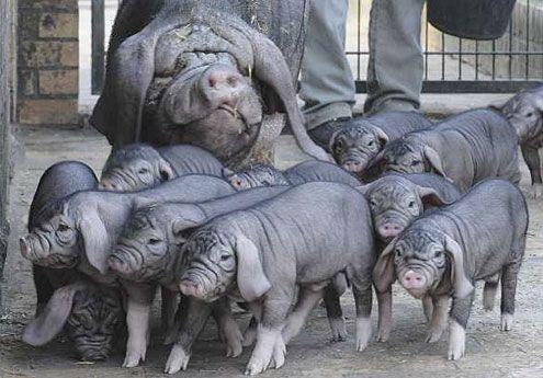 Svinje iz kineskih Meishan Province
