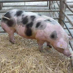 Porc rasa Petrov (Pietrain)