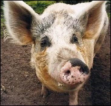 Svinja boluje od nadutost, izazvao PE