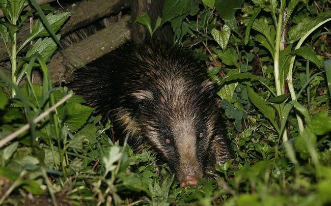 Catchy boje svinjske jazavac treba da se jave da je ova životinja je vrlo opasno, tako da je najbolje da se ne nered s njim.