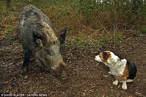 `` Svirepye`` svinje da lutaju u šumi Dean `` prevraschayutsya`` ruku kod svinja