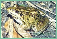 Свистунглазчатый / leptodactylus ocellatus