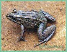 Свистунсухопутный / leptodactylus prognatus