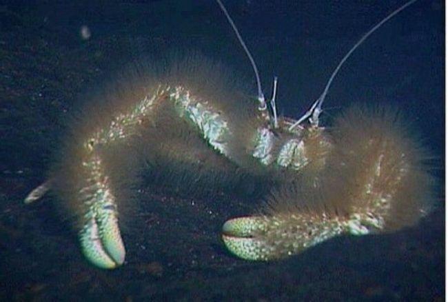 Yeti Crab u podvodnom kamerom blizu fokus.