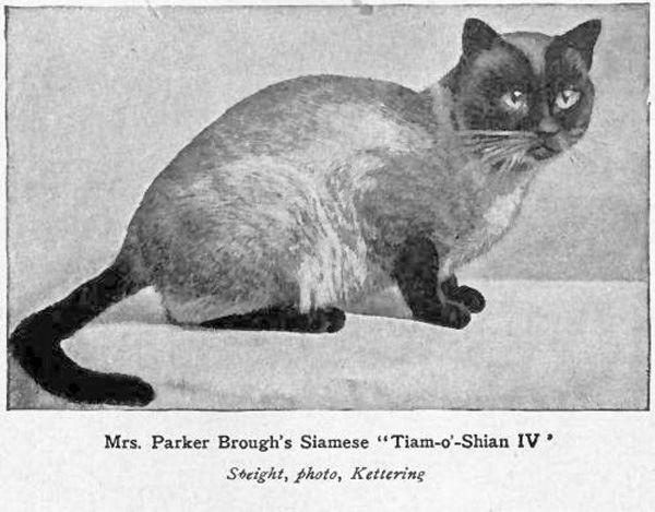 Тайская порода кошек (thai cat)