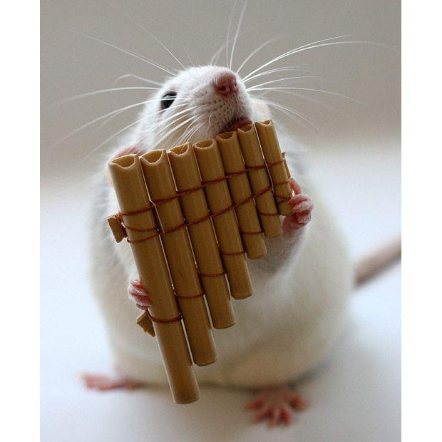 Талантливые музыкальные крысы