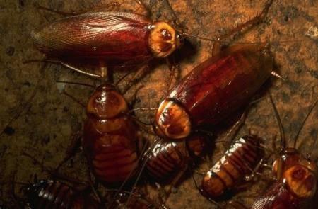 Тараканов-разведчиков научат искать источники радиации