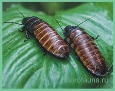 Тараканы/ blattodea