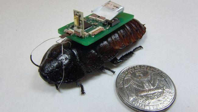 Тараканы-киборги научились искать людей по голосу