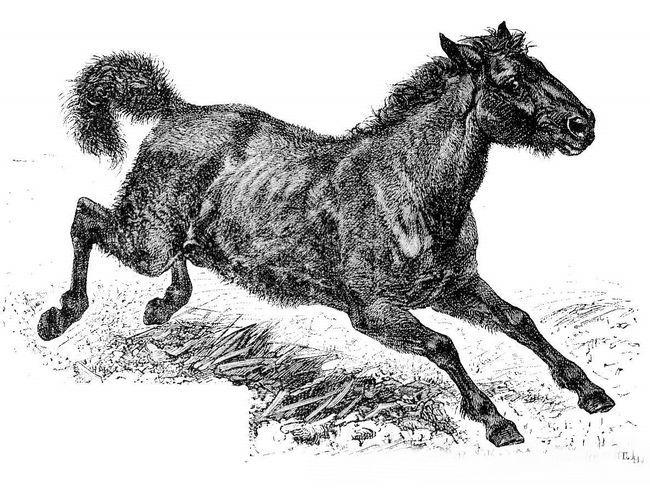Tarpan (Equus ferus ferus).