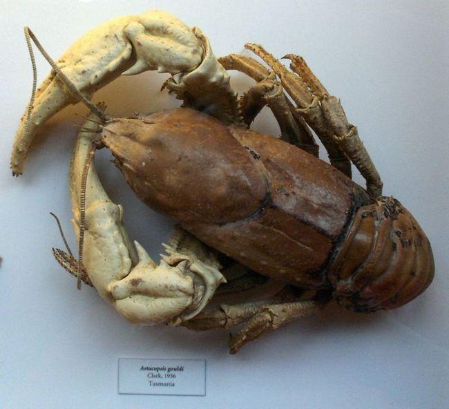 Tasmánsky obr rakovina sladkovodné (lat. Astacopsis Gould)