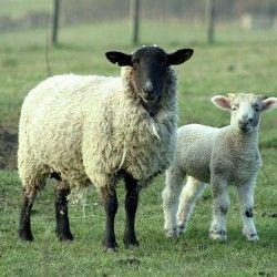 Ovce tehnologija sadržaj