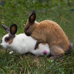 Технология и советы по случке и спариванию кроликов