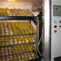 Технология производства инкубационных яиц