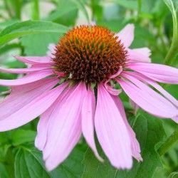 Технология выращивания лекарственных растений