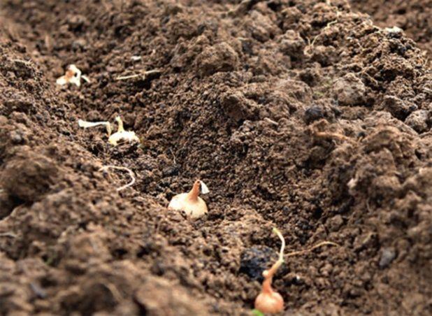Uzgoj luk iz tehnologije sjemena