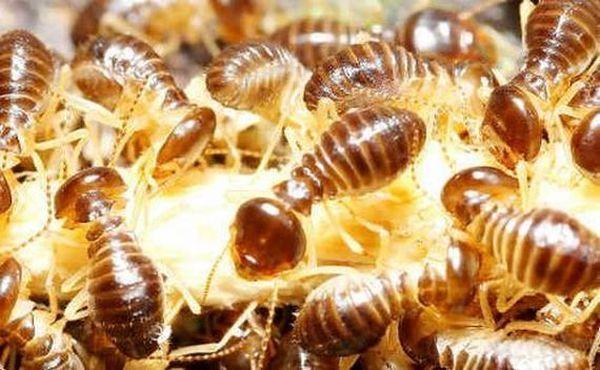 Термиты помогут в поиске месторождений золота