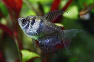 Тернеция — рыбка обыкновенная