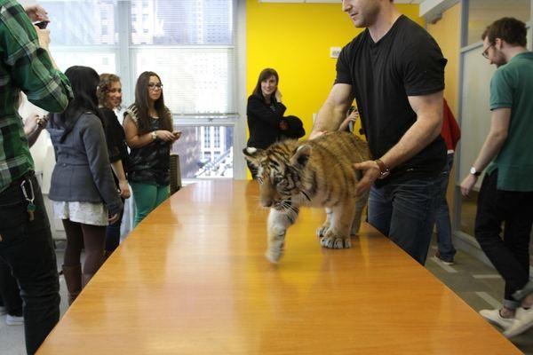 Tiger i njegov prijatelj Gus Francuski buldog