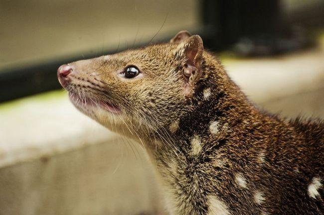 Тигровая кошка (лат. Dasyurus maculatus) - сумчатое животное австралии