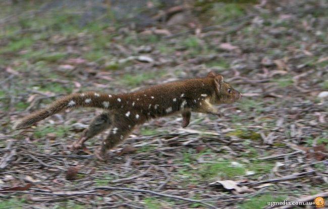 Tiger Cat (lat. Dasyurus maculatus) ili tigra Quoll ili gigantski dasyure
