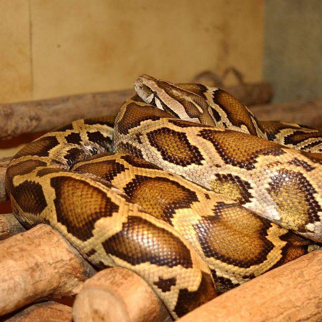 Tiger piton (Python molurus).