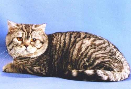 Тигровый табби окрас, или макрель