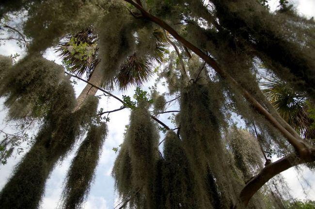 Tillandsia usneevidnaya (lat. Tillandsia usneoides)