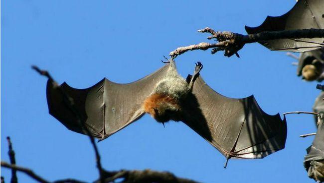 Тяжелые крылья помогают летучим мышам приземляться вниз головой