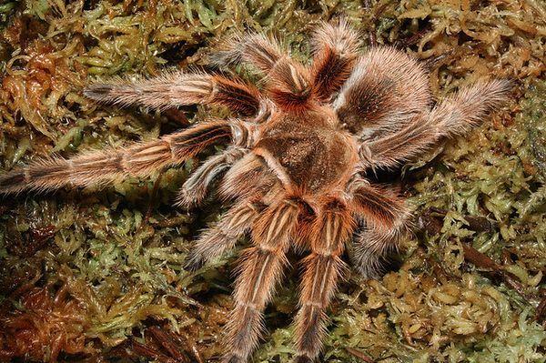 Тяжёлые пауки-птицееды выделяют паутину лапками ног