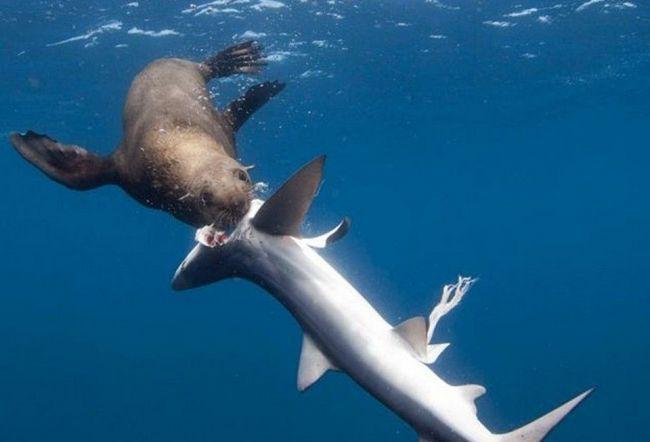 Seals je počeo lov na ajkule i jedu njihovi organi