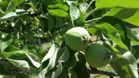 Тля на яблоне как бороться