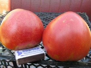 Sorte paradajza Kemerovo pink fotografija