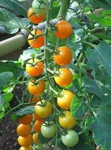 Raznolikost paradajza fantazije