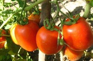 paradajz fazan