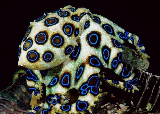 Golubokolchaty hobotnica