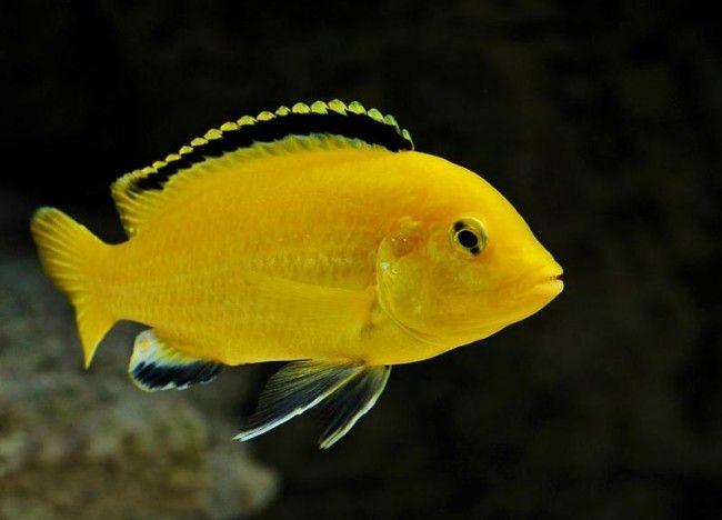 Labidochromis žuta.