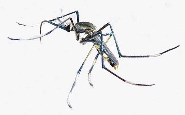 Toxorhynchites — один из немногих не кровососущих комаров