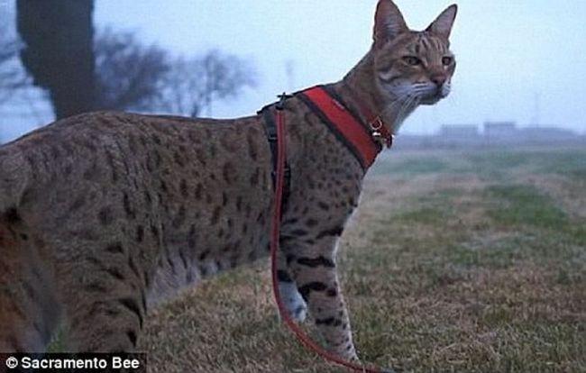 Trouble (Trouble) - nejvyšší na světě kočky