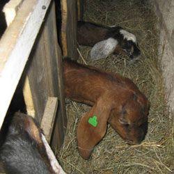 Требования к кормушкам для коз, их самостоятельное изготовление