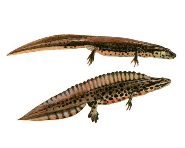 Od vzácny v akváriách typy ruských fanúšikov patria: ognennobryuhy a španielskej mloka.