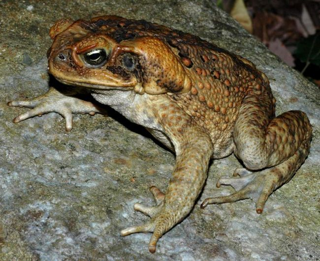 Žaba-aga (Bufo Marinus).